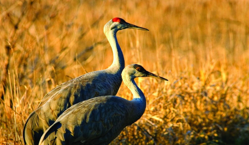 Othello Sandhill Crane Festival Announces 2020 Theme